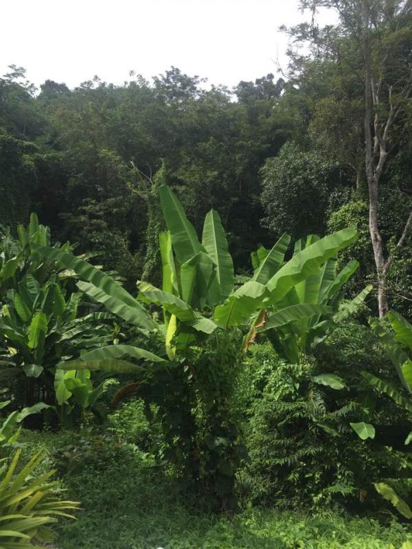 Photo Phuket-Plot to sell in Kamala: 12800 m2 with Chanote